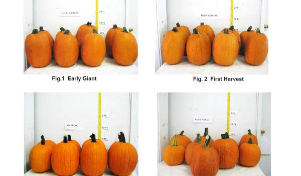 Pumpkin Variety Trial at the North Mississippi Research and Extension Center