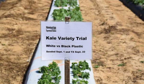 Kale Variety Trial On White and Black Plastic Mulch